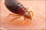 bed-bug-1a