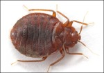 bed-bug-2a