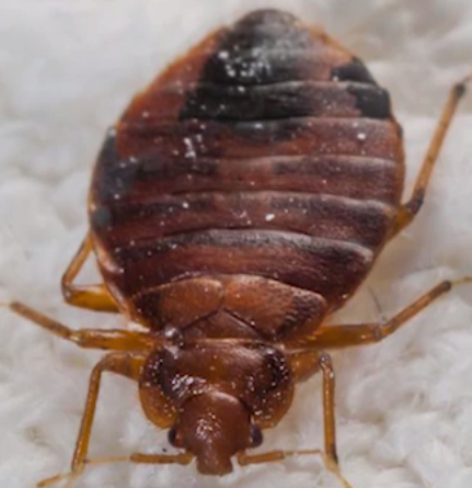 Bed Bugs | salvationcanada