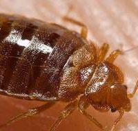 bedbug33
