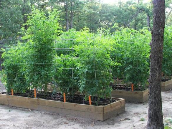 tomato bush texas