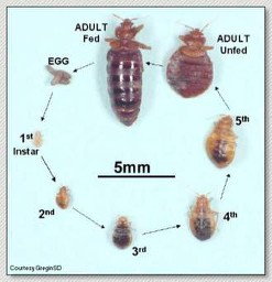 Can You Carry Bed Bug Eggs On Your Body