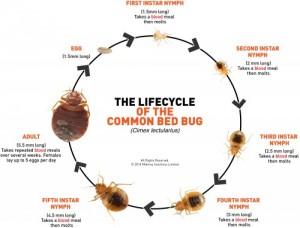 Bedbug-Life-Cycle4-300x228
