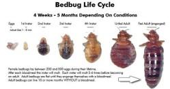 Bedbug-Life-Cycle5-550x288
