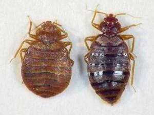 Bedbug2-300x224