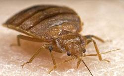 Bedbug6