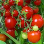 Tomatoe-150x150