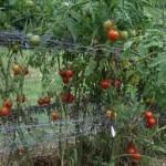 Tomatoe7-150x150
